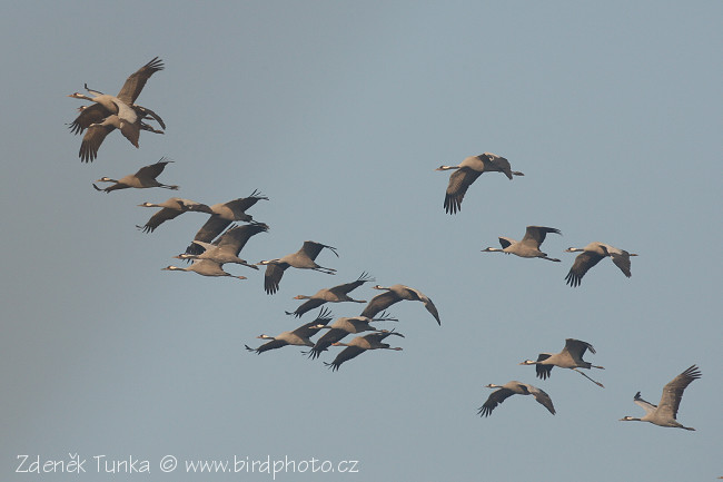 Other Birds - Common Crane (Grus grus)