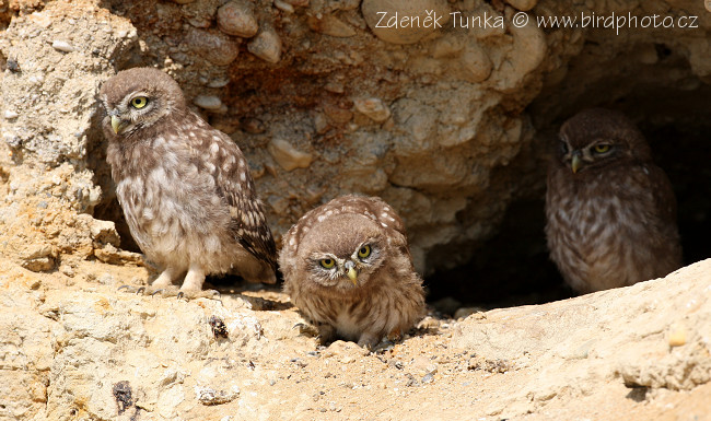 Owls - Little Owl (Athene noctua)