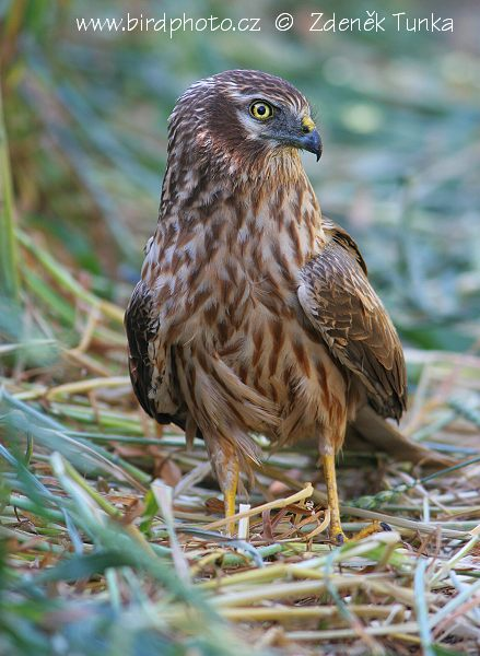Birds of Prey - Montagu's Harrier (Circus pygargus)