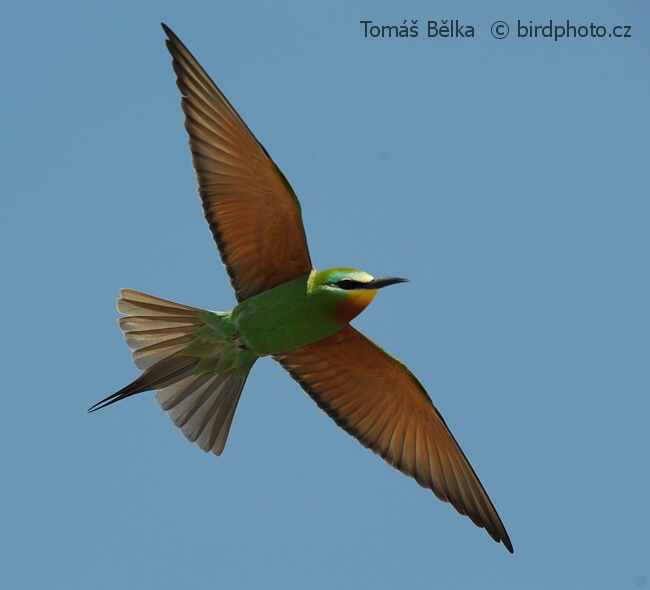 Rollers and Allies - Blue-cheeked Bee-eater (Merops persicus)