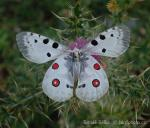 Apollo buterfly (Parnassius apollo)