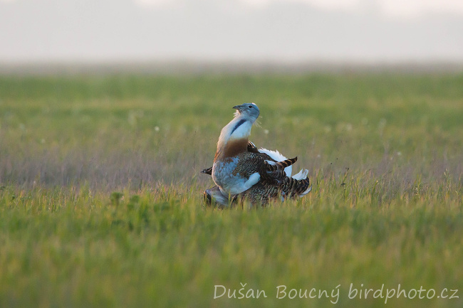 Other Birds - Great Bustard (Otis tarda)