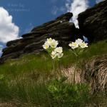 Narcissus Thimble-weed (Anemone narcissiflora)