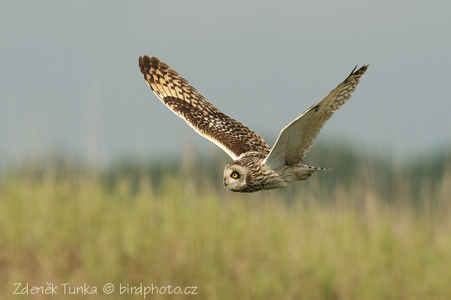 Owls - Short-eared Owl (Asio flammeus)