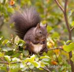 Eurasian red squirrel (Sciurus vulgaris)