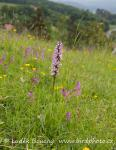 Military Orchid (Orchis millitaris)