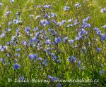 Common chicory (Cichorium intybus)