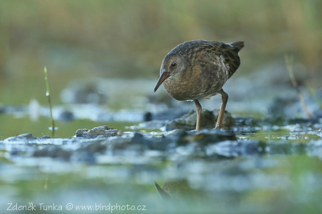 Other Birds - Water-Rail (Rallus aqaticus)