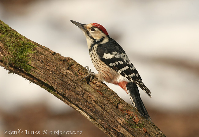 Woodpeckers and Allies - White-backed Woodpecker (Dendrocopos leucotos)