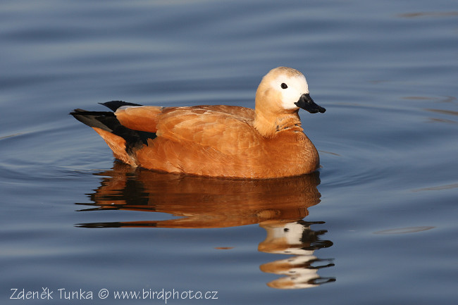 Waterfowls - Ruddy Shelduck (Tadorna ferruginea)