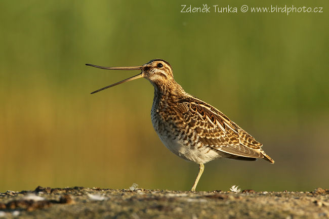 Waders - Common Snipe (Gallinago gallinago)