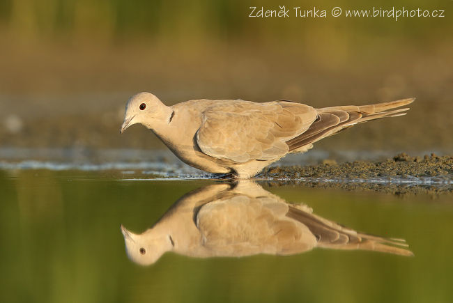 Other Birds - Collared Dove (Streptopelia decaocto)