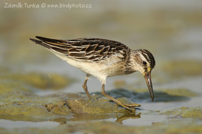 Waders - Broad-billed Sandpiper (Limicola falcinellus)