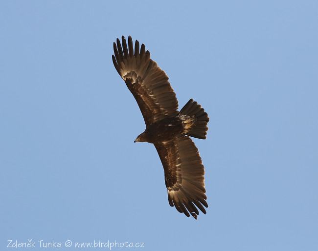 Birds of Prey - Greater Spotted Eagle (Aquila clanga)