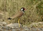 Red-wattled Lapwing (Hoplopterus indicus)