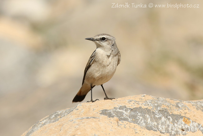 Passerines - Red-tailed Wheatear (Oenanthe chrysopygia)