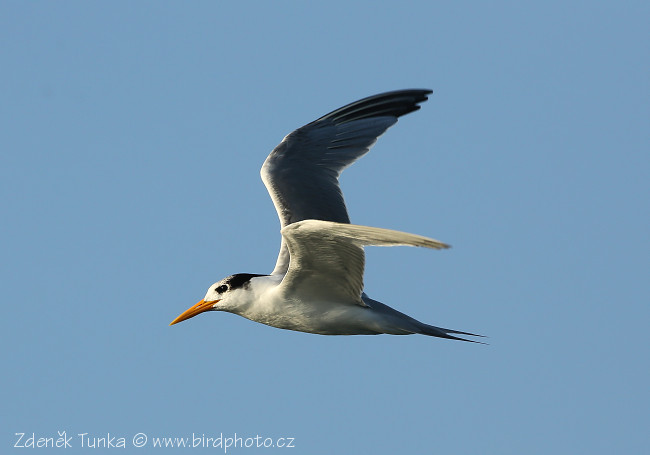 Gulls and Allies - Lesser Crested Tern (Sterna bengalensis)